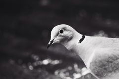Hello. Collared dove pauses to show interest in photographer Stock Images