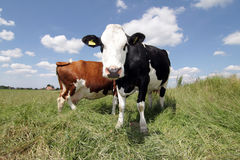 Hello cow Stock Photography