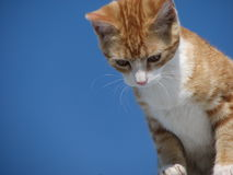 Hello Down There. An orange kitten, white chested, front view, looking down (at who knows what). Set against a blue background with plenty of space to add type Royalty Free Stock Photos