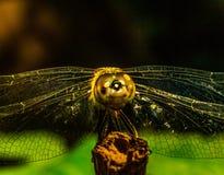 Hello Dragon. A macro shot of a  dragonfly Stock Photos