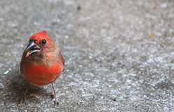 Hello Fall! Cardinal Stock Photo