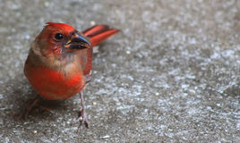 Hello Fall! Cardinal 2 Stock Photos