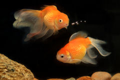 Hello Friend, Goldfish, Fish Royalty Free Stock Photos