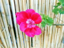Hello. Geranium flower on neutral background Royalty Free Stock Photography