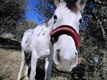 Hello! Hälsningar från den lyckliga vita hästen som nyfiket blinkar in i kameran - är den hungrig? royaltyfri foto