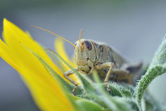 Hello Hopper. A macro shot of a grasshopper on a flower.  The face is in focus Stock Image