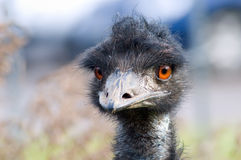 Hello, I am an ostrich Stock Images
