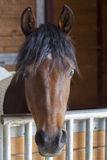 Hello, I See You. Lone brown horse peeking around the stall to say hello Royalty Free Stock Photography
