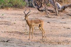 Hello impala Arkivfoton