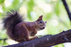Hello. Little squirrel in the tree watch on people stock photo