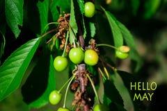 Hello Maj, meddelande med härlig naturplats av den gröna körsbäret Arkivfoton