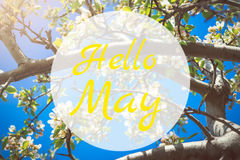 Hello May greeting card with blooming white apple tree flowers. In background Stock Photo