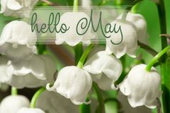 Hello May lettering card.  lilies of the valley. Hello May lettering card. lilies of the valley on natural background. spring season. lilies of the valley spring royalty free stock image