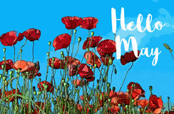 Hello May and red poppies. Field of red poppies against blue skies and white text graphics Hello May Royalty Free Stock Photos