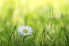 Hello May text and white daisy flower on spring meadow background. Soft focus royalty free stock photo