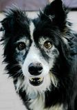 Hello my best friend. Cross border Collie waiting in anticipation to go for a walk and play Stock Photos