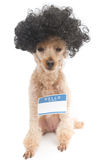 Hello My Name Is...Nerd Dog. A poodle with big hair wearing a blank 'Hello My Name Is' sticker, isolated on a white background Stock Photography