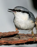 Hello! (Nuthatch portrait). Nuthatch with an open beak on tree bark looking ahead Royalty Free Stock Photo