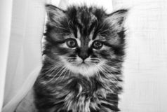 Hello, says kitty. Black and white picture of a cute kitty exploring the world. Cute, fluffy, dough eyed kitten. White curtains surround the kitten that is royalty free stock image