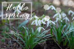 Hello spring. Background of blooming snowdrop. Spring flower. The first breath of spring. Hello spring. Background of blooming snowdrops. Spring flower. The Royalty Free Stock Photos