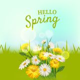 Hello spring, a bouquet of daisies flowers dandelions, on a green background, cartoon style, vector, illustration, flyer. Daisies flowers spring background Stock Photography