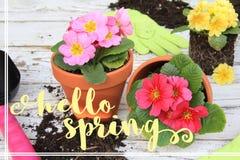 Hello spring primulas Stock Photo