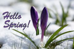 Hello Spring, Purple Spring Lilly blooming. In the snow on April Stock Image