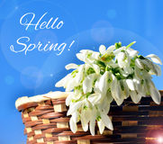 Hello Spring!. Snowdrops in a basket Royalty Free Stock Images