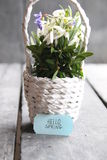Hello spring tag and Bouquet of snowdrops in a wicker basket Royalty Free Stock Images
