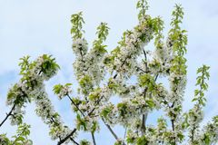 Hello spring, tree, branch of white cherry blossoms, blue sky background.  stock photo