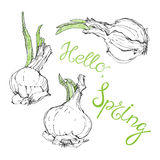 Hello , spring . Vector humorous illustration, sketch. Onion wit Stock Image