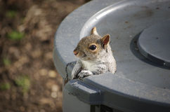 Hello, Squirrel. An Eastern Gray Squirrel peeks out of the hole he gnawed in the trash can Royalty Free Stock Photo