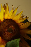 Hello sunflower. Still life of a sunflower with soft lighting stock image