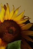 Hello sunflower Stock Image