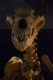 Hello there!. Funny image of a bear skeleton Stock Photography