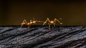 Hello. Two ants walk in the dark board Royalty Free Stock Photography