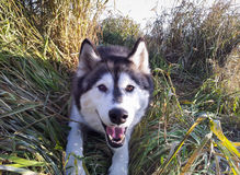 Hello van Husky Dog in Alaska Stock Afbeeldingen