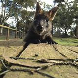 Hello-Wallaby Royalty-vrije Stock Foto's