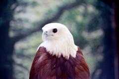 White eagle  Stock Images