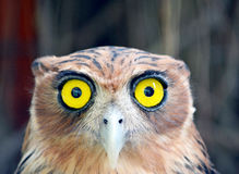 Yellow eyed filipino owl royalty free stock images
