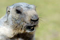 Hello world !. Marmot face in french Alps Royalty Free Stock Images