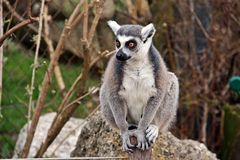 Hello world from a member of Salzburg zoo. Ring-tailed lemur was greeting people out of his cage at Salzburg zoo Royalty Free Stock Image