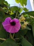 Hello-Zaterdag met deze mooie purpere bloem van de Olifantsklimplant royalty-vrije stock afbeelding