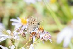 Helloides de cuivre violacés de Lycaena de papillon recueillant le pollen Photo stock