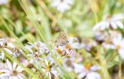 Helloides de cuivre violacés de Lycaena de papillon recueillant le pollen Photos stock