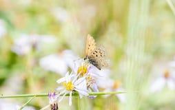 Helloides de cuivre violacés de Lycaena de papillon recueillant le pollen Photo libre de droits