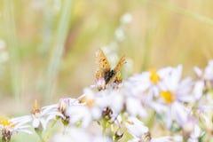 Helloides de cuivre violacés de Lycaena de papillon recueillant le pollen Photographie stock libre de droits
