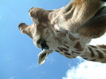 Helloooooo Mr. Jaffa. Close up of a giraffe having a close up of us at west midlands safari park stock photo