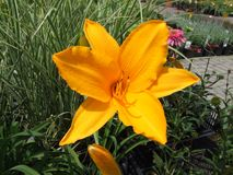 Hellorangee Blume 1 Stockbild