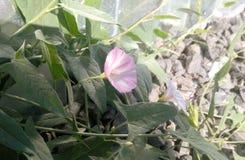 Hellpurpurne Blume der Windenblume Lizenzfreies Stockbild